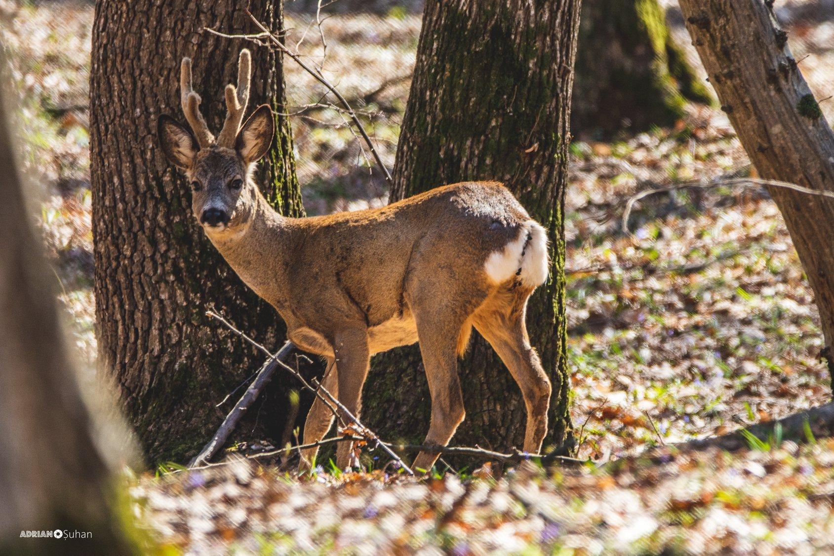 Căprior surprins în pădure