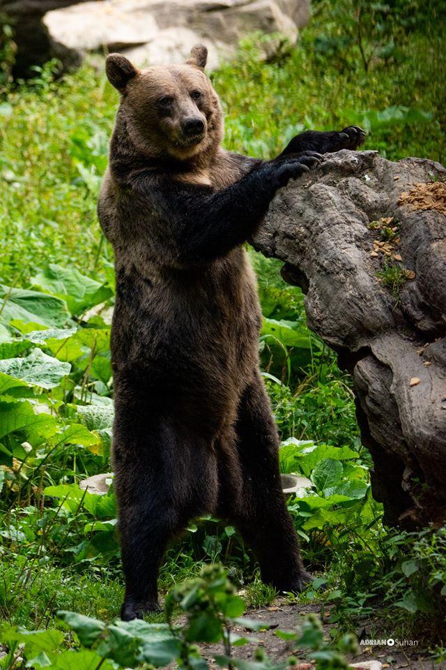 Urs în două labe langă Brașov